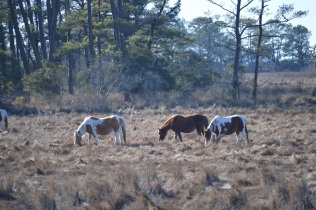 The Wild Horses @ Chincoteague Island